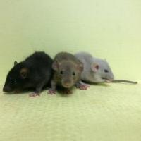 Крыса декоративная дамбо