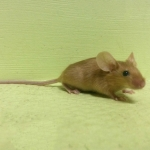 Мышь атласная