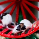 Мышь японская танцующая